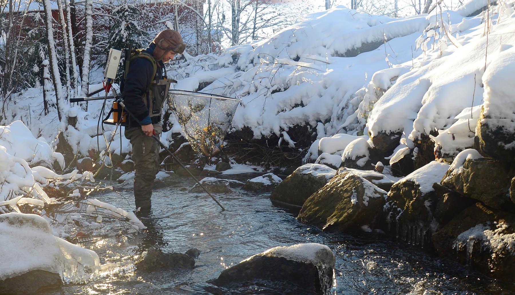 Doktorgradsstipendiat Tormod Haraldstad/NIVA har god trening i å fange gytefisk ved hjelp av el-fiskeapparat og hov. Selv i små bekker og kystvassdrag går det stor sjøørret i perioden oktober-desember. Foto: Øivind Berg