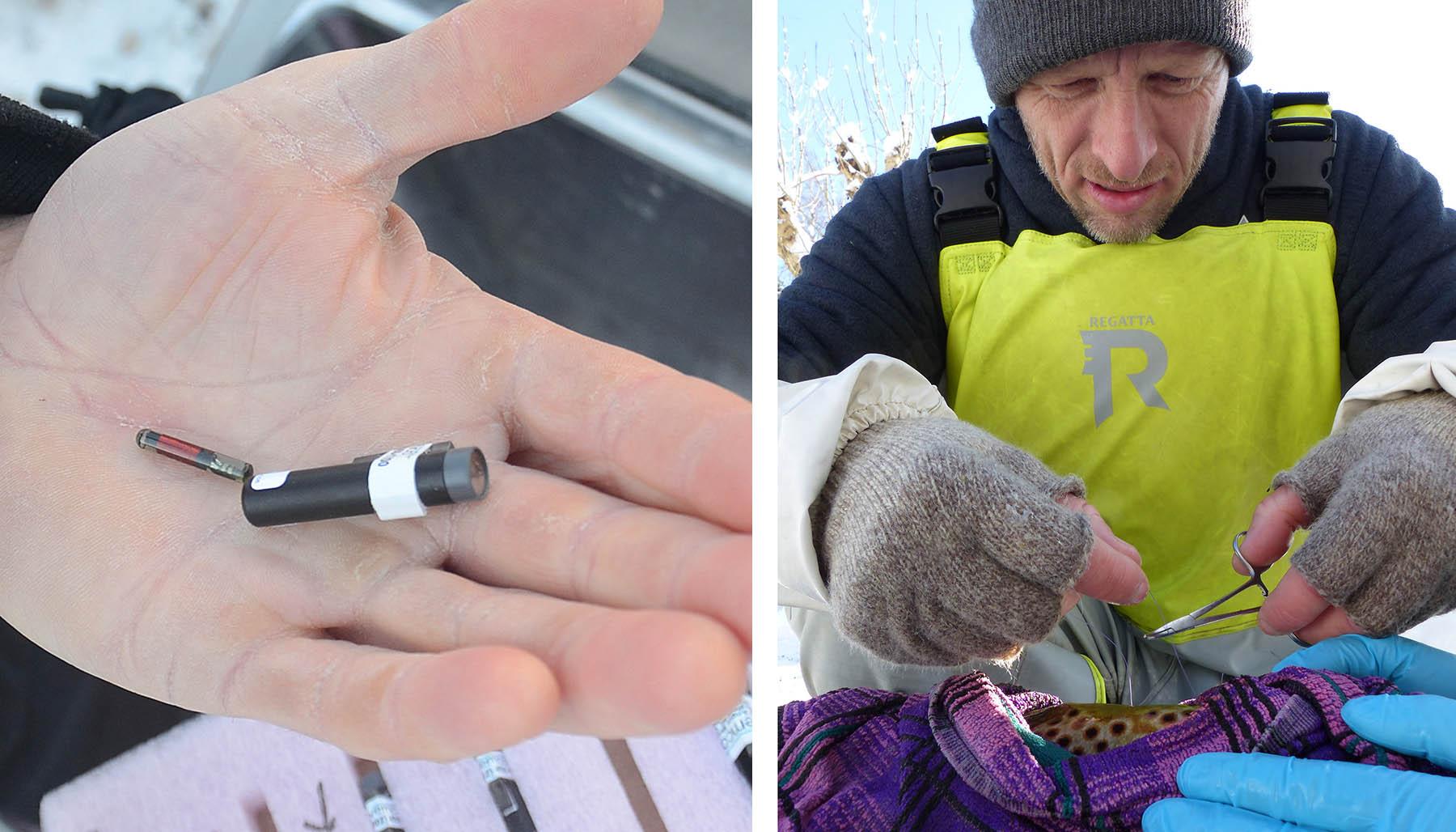 PIT-merke (til venstre) og en liten radiosender (til høyre i hånden) opereres inn i sjøørreten. Radiosenderen kommuniserer med lyttebøyer som registrerer hvor og hvor langt og dypt fisken svømmer. Foto: Øivind Berg